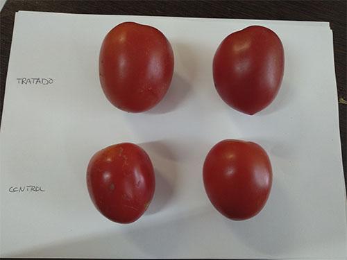 Muestras de tomate. Arriba los tratados, abajo de la zona de control del estudio en cultivo de tomate