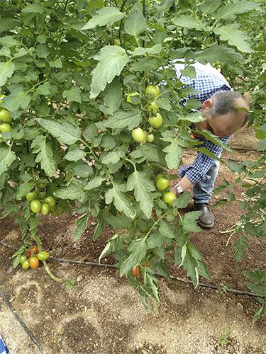 Agricultor con planta de tomate