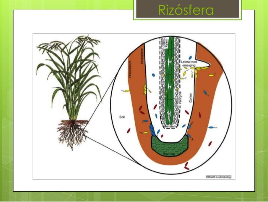 rizosfera - Bing images