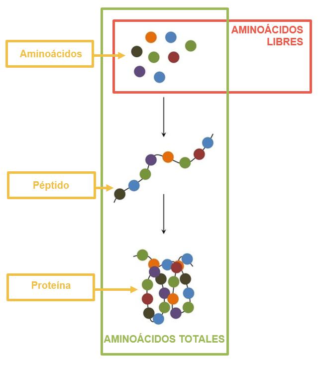 Esquema aminoácidos