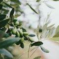 ejemplo de olivo en envero