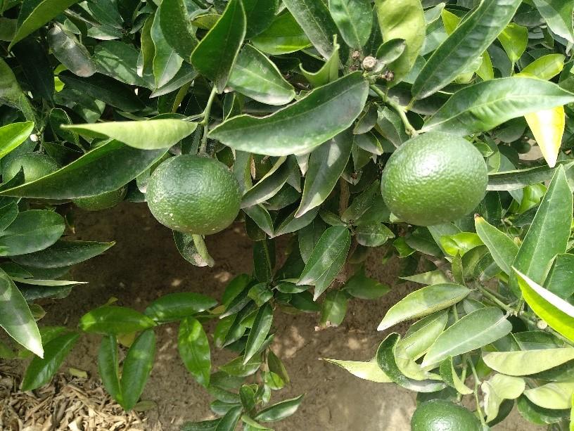 Variedad de mandarina en desarrollo
