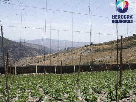plantación de tomate en la Alpujarra