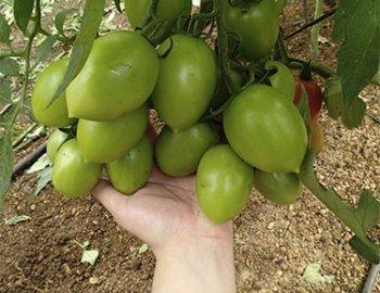 racimo de tomate Herogra